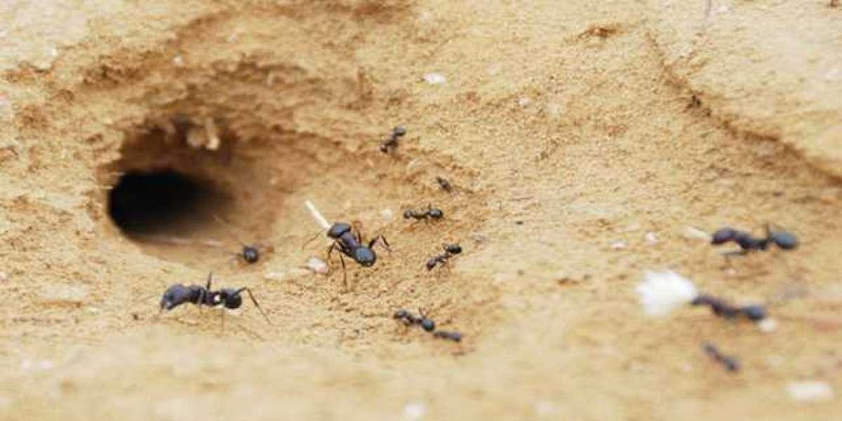 Enggak Perlu Jijik, Ini 10 Manfaat Sarang Semut